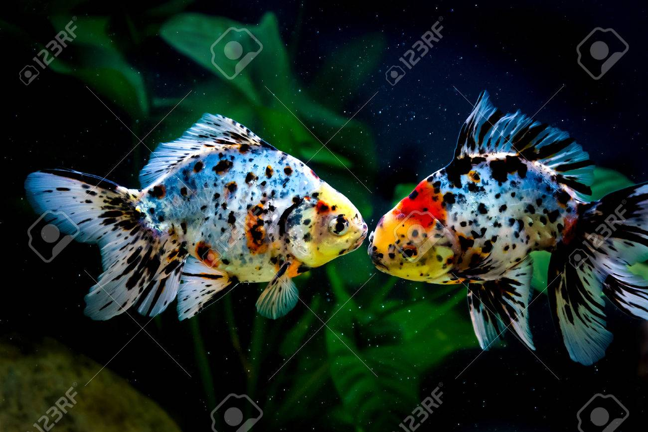 Five Colored Goldfish In A Fish Tank. Stock Photo, Picture And ...