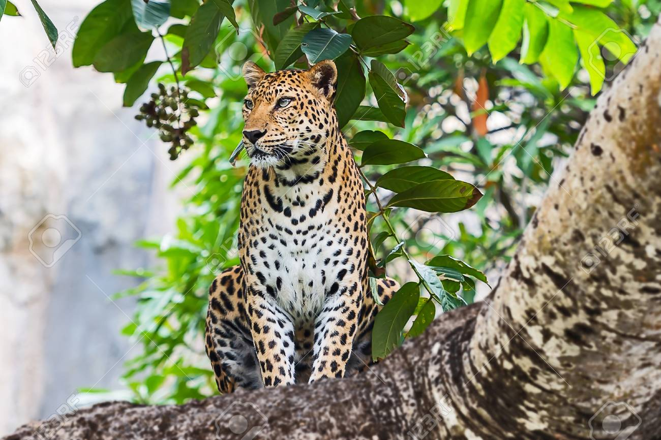 Portrait Of A Leopard In The Wild Habitat Stock Photo Picture And