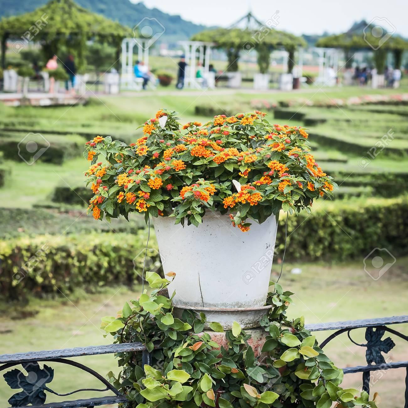 Lantana Camara Plant In Clay Pot On The Terrace Stock Photo
