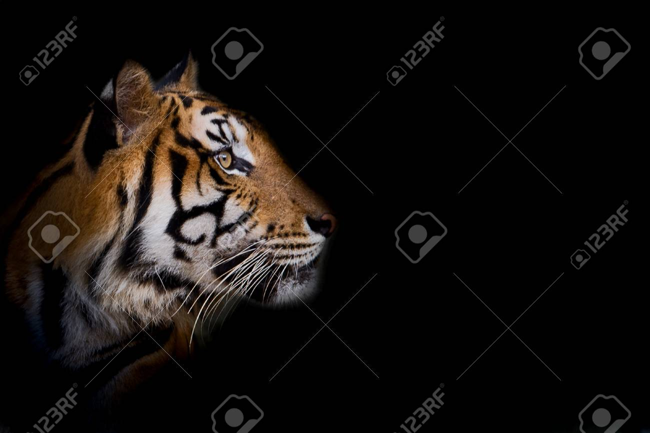 Portrait of standing adult Indochinese tiger outdoors. (Panthera tigris corbetti) in the natural habitat, wild dangerous animal in the natural habitat, in Thailand. - 123930444