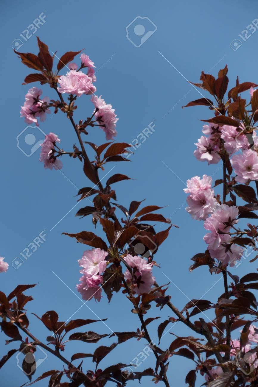 Branches Of Prunus Serrulata With Pink Flowers And Purple Leaves