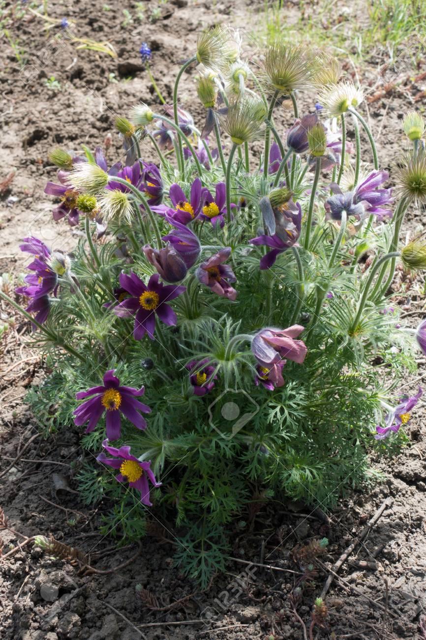 Bush Of Pulsatilla Vulgaris With Purple Flowers Silky Seed Heads