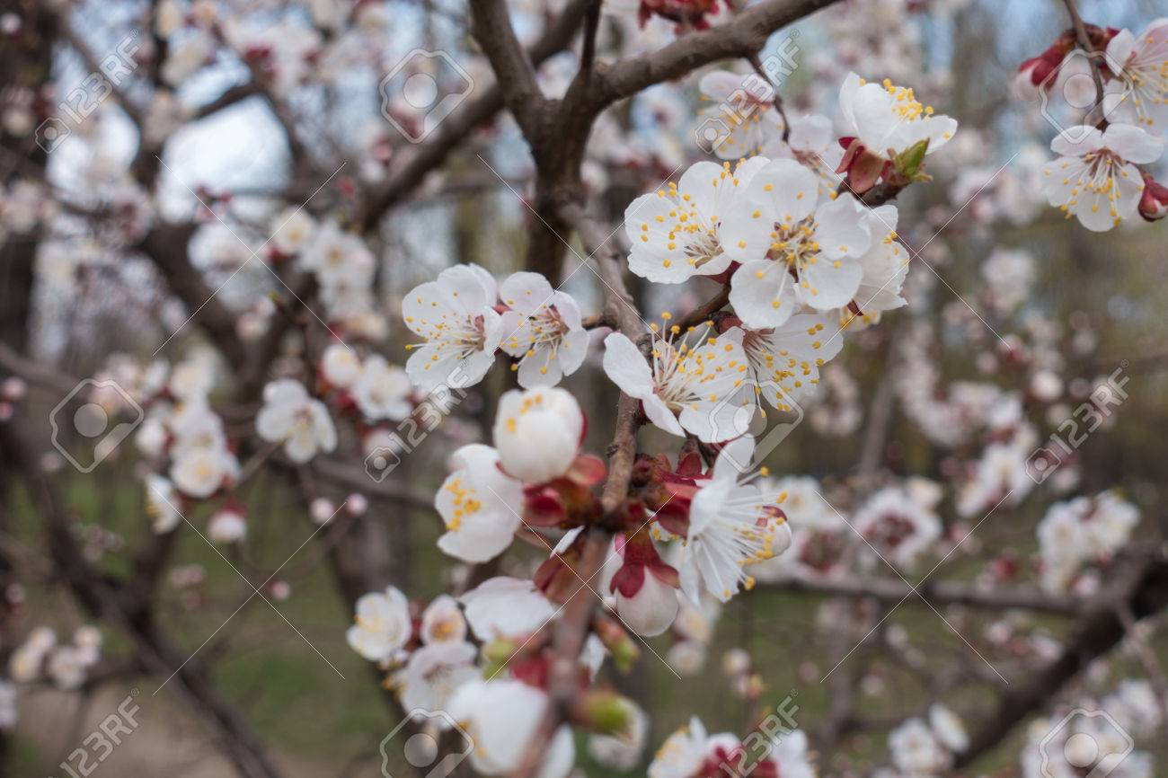 Lots Of White Flowers On The Apricot Tree Stock Photo Picture And