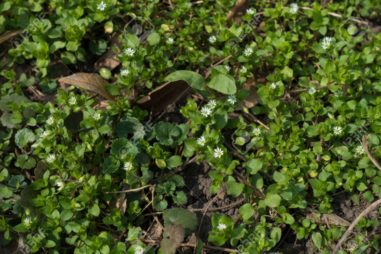 Small White Flowers Of Common Chickweed In Spring Stock Photo
