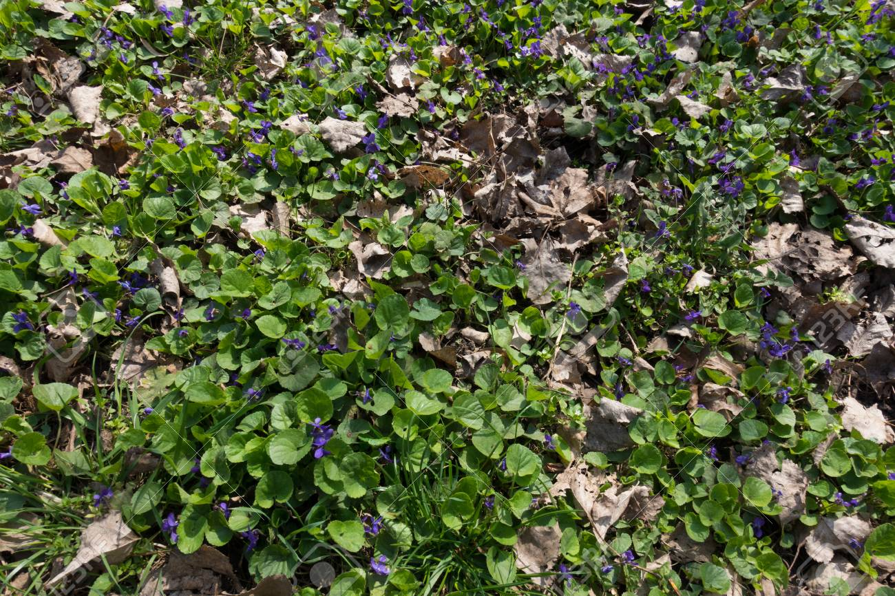 Small Purple Flowers Of Viola And Fallen Leaves Stock Photo Picture