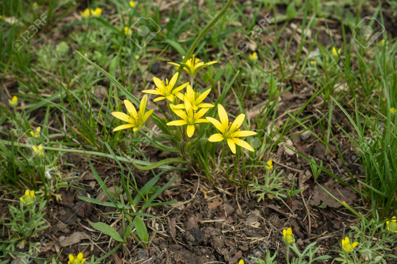 Small yellow flowers of gagea minima in the grass stock photo small yellow flowers of gagea minima in the grass stock photo 80089556 mightylinksfo