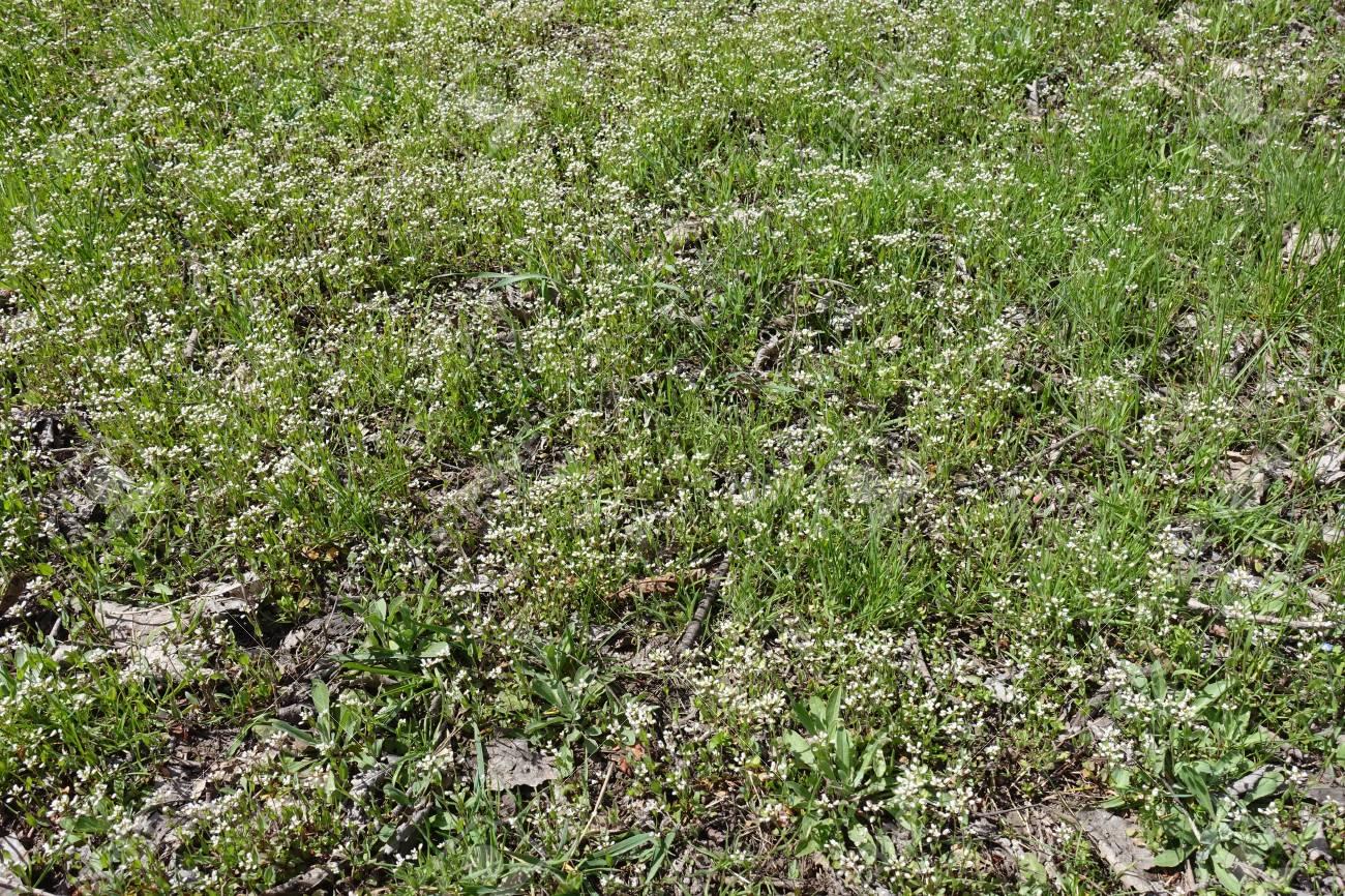 Un Monton De Pequenas Flores Silvestres Blancas En Primavera Fotos