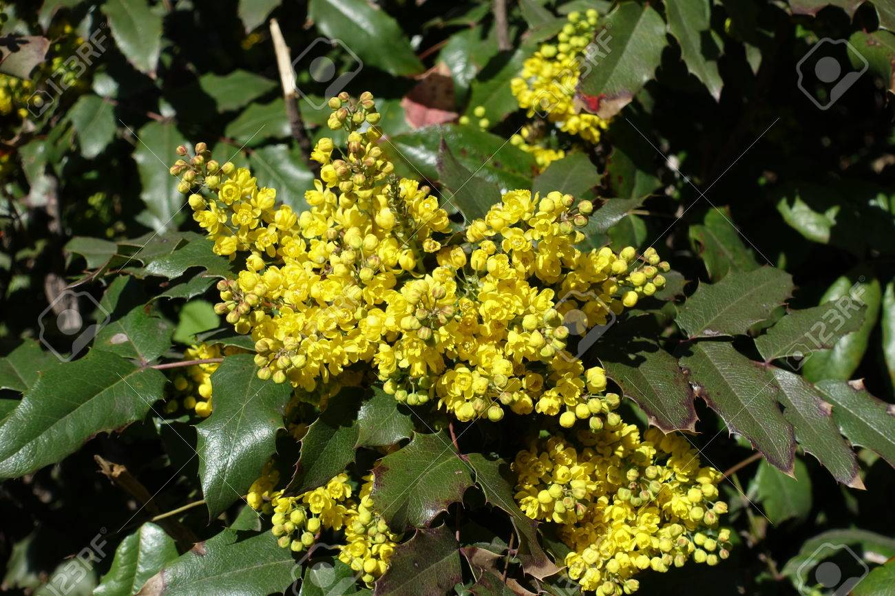 Bright yellow flowers and wide pinnate leaves of grape holly stock bright yellow flowers and wide pinnate leaves of grape holly stock photo 83467435 mightylinksfo