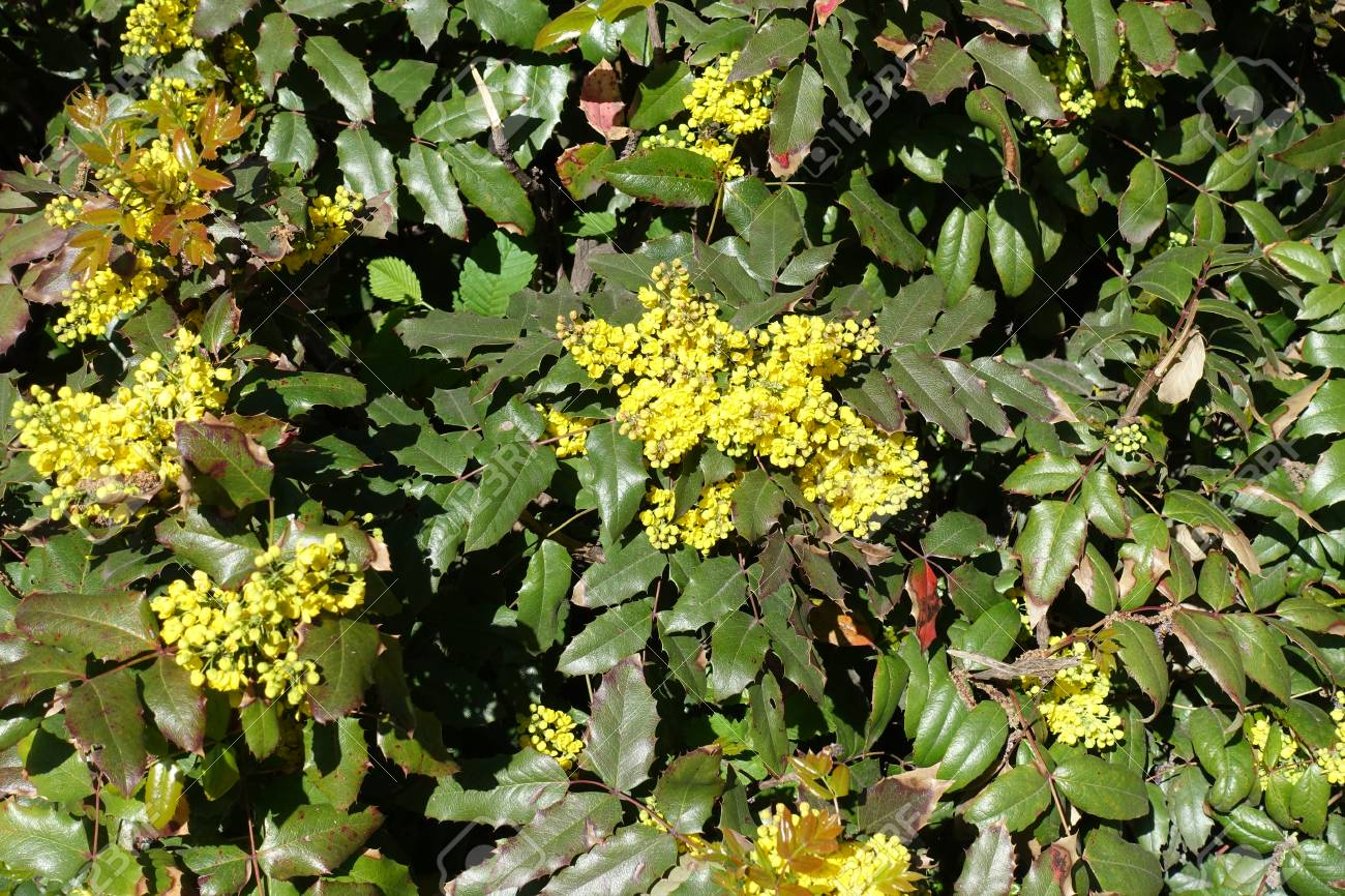 Dense Clusters Of Yellow Flowers Of Oregon Grape In Early Spring