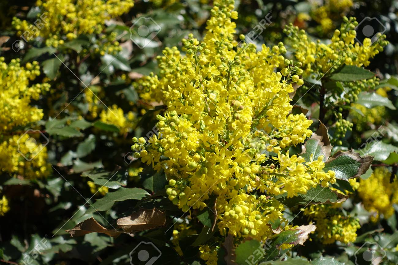 Raceme of bright yellow flowers of holly grape stock photo picture raceme of bright yellow flowers of holly grape stock photo 82831491 mightylinksfo