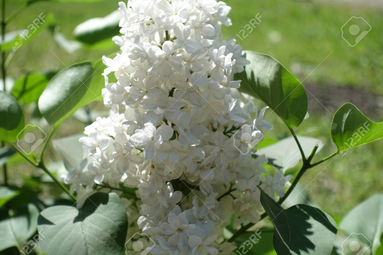 Close Up Of Four Lobed White Lilac Flowers Stock Photo Picture And