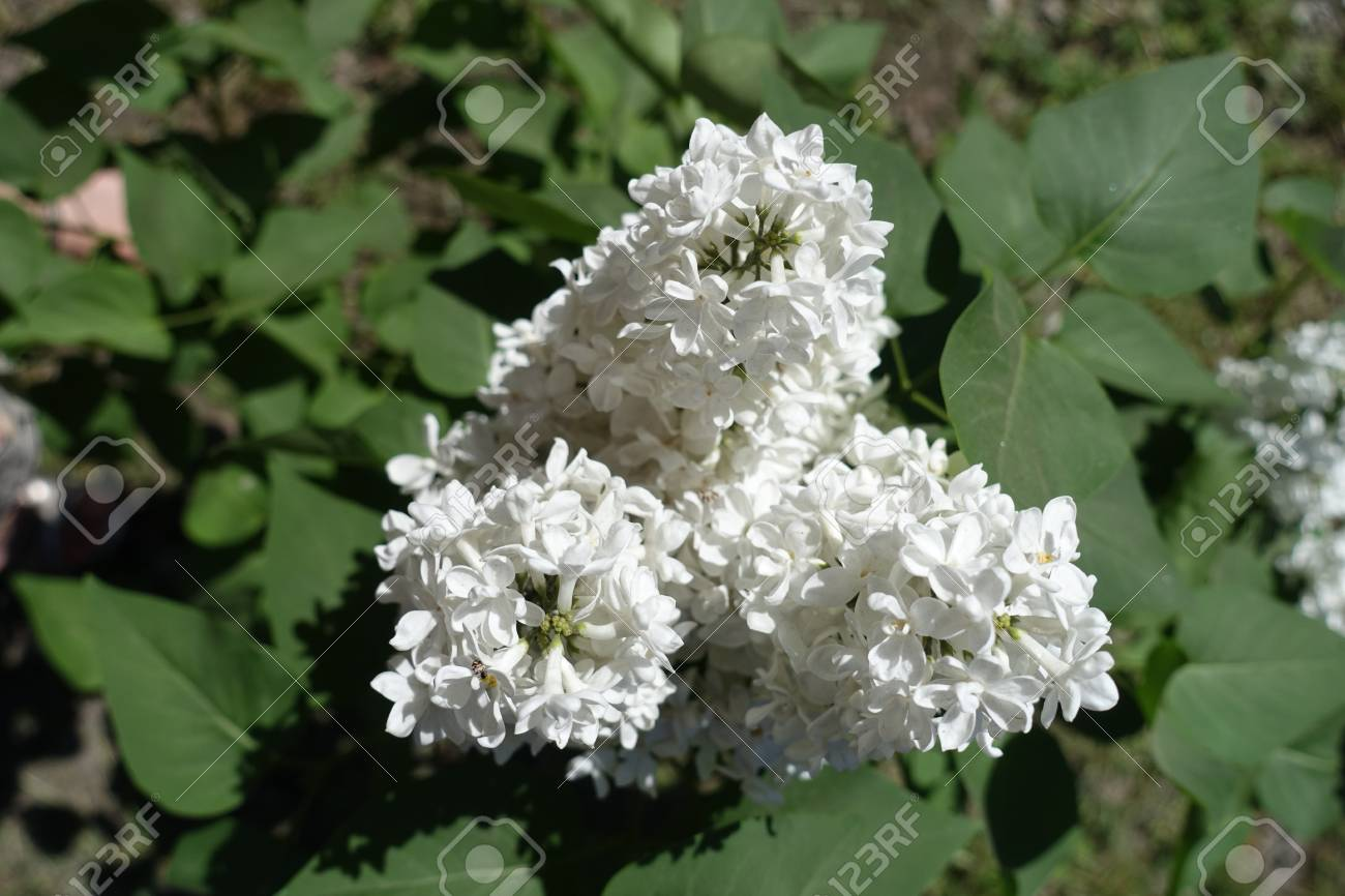 Panicles of white tubular flowers of lilac stock photo picture and panicles of white tubular flowers of lilac stock photo 84640187 mightylinksfo