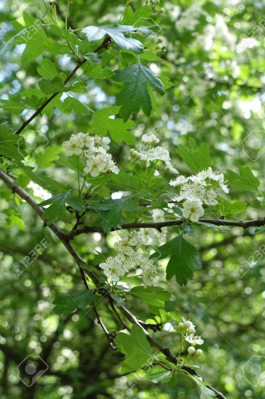 Small White Flowers Of Thornapple In Spring Stock Photo Picture And