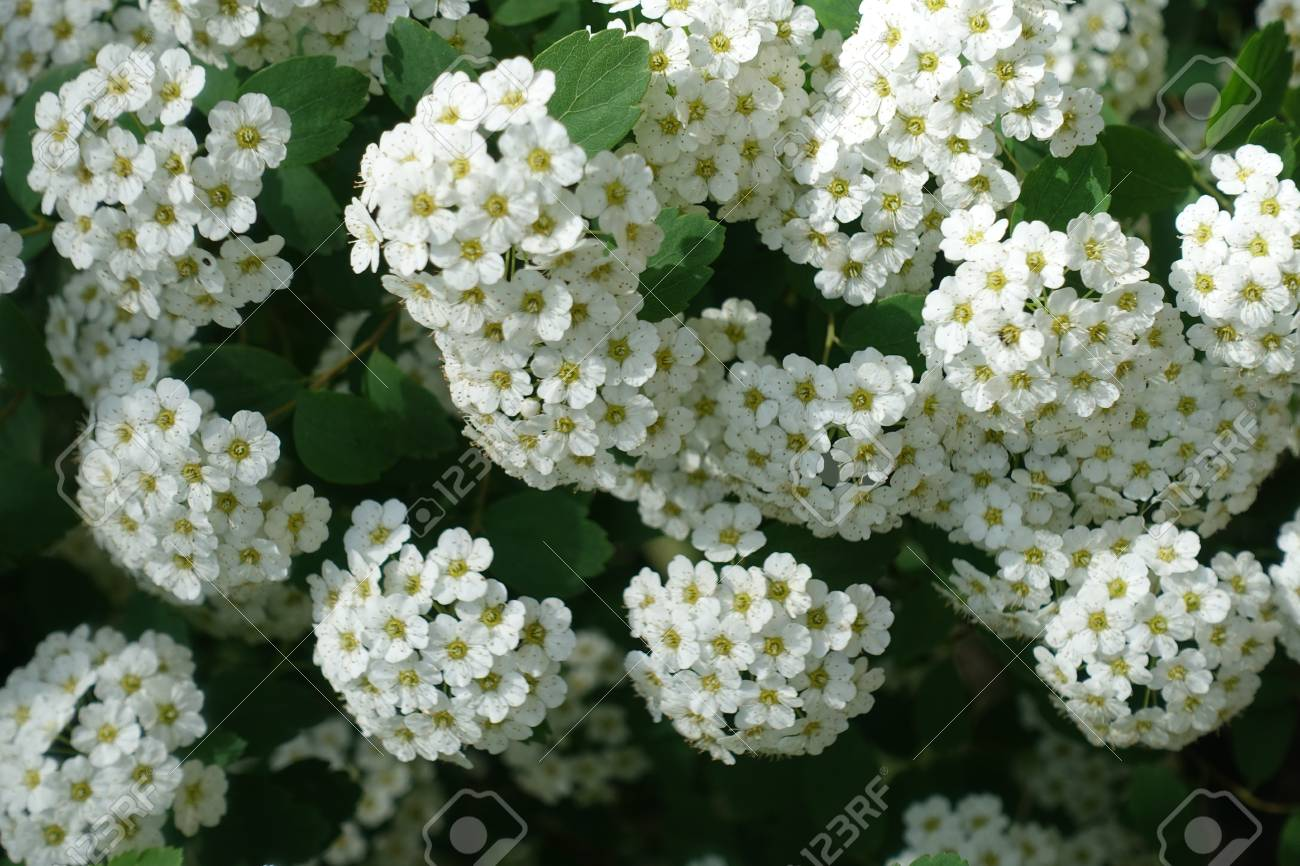 Close Up Of Small White Flowers Of Spirea Stock Photo Picture And
