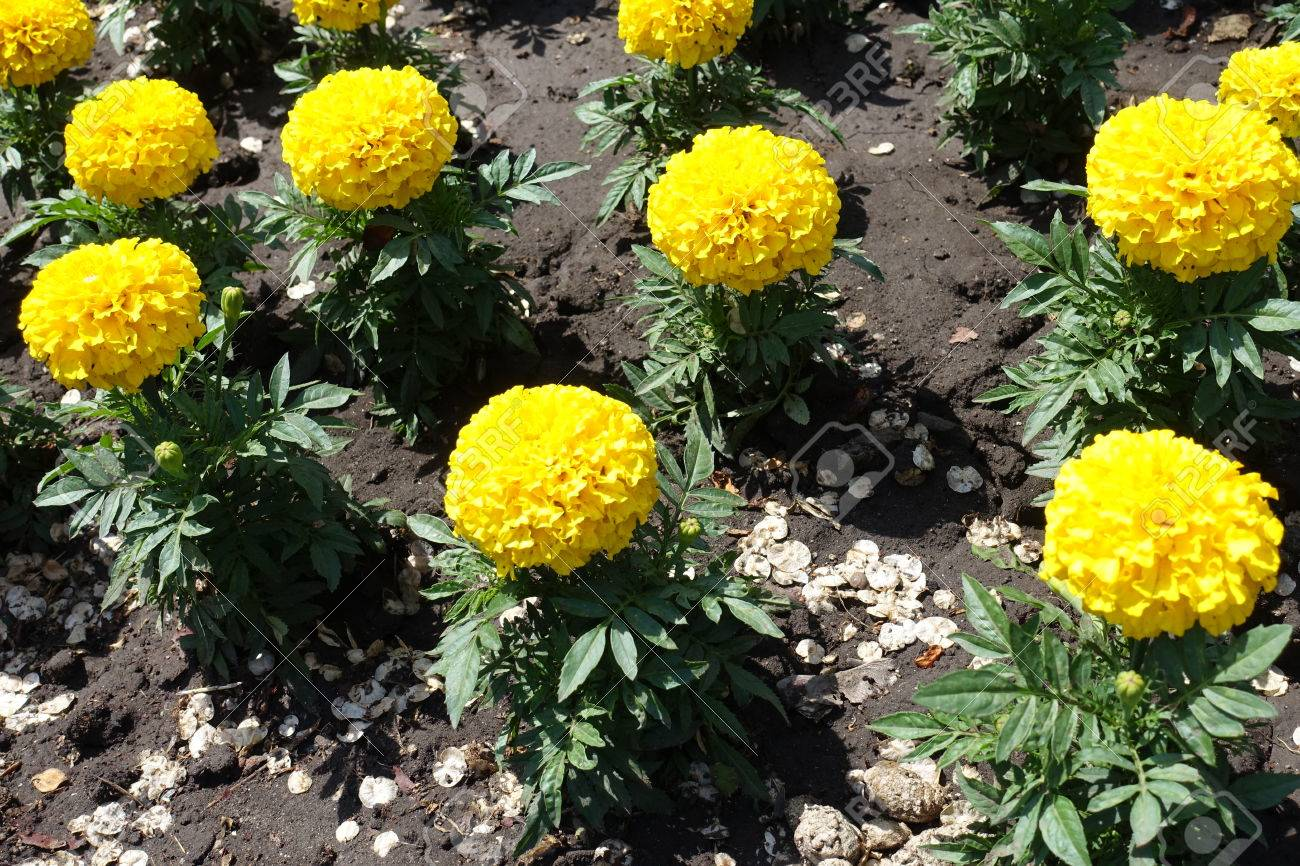 Golden Yellow Flowers Of Tagetes Erecta Plants Stock Photo Picture