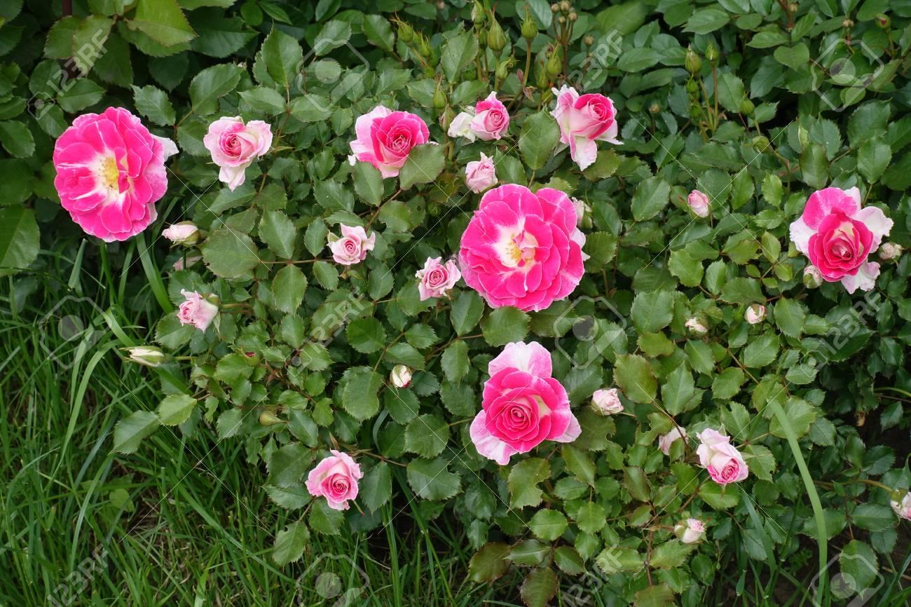 Bright deep pink flowers of garden rose stock photo picture and bright deep pink flowers of garden rose stock photo 85014874 mightylinksfo Image collections