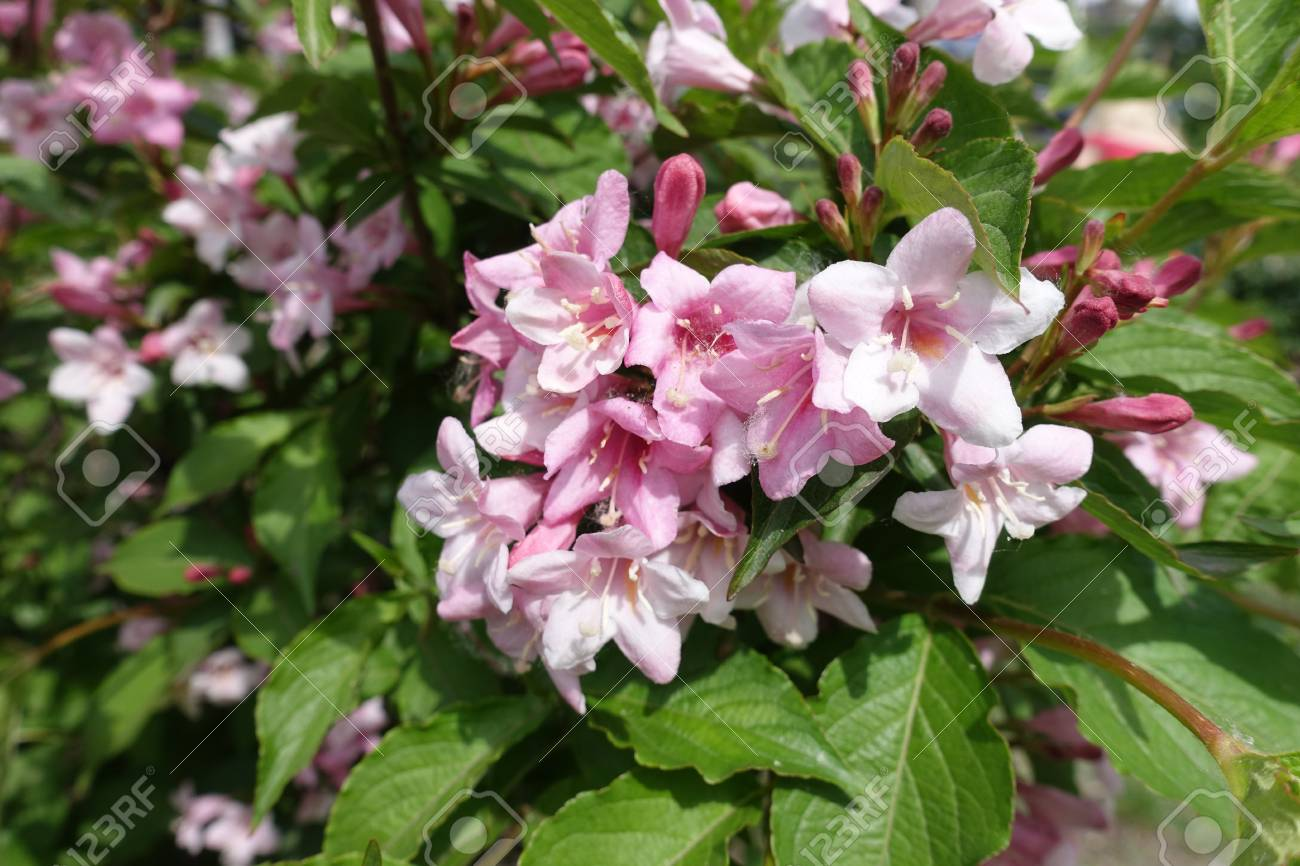 Close Up Of Corymb Of Pink Flowers Of Weigela Stock Photo Picture