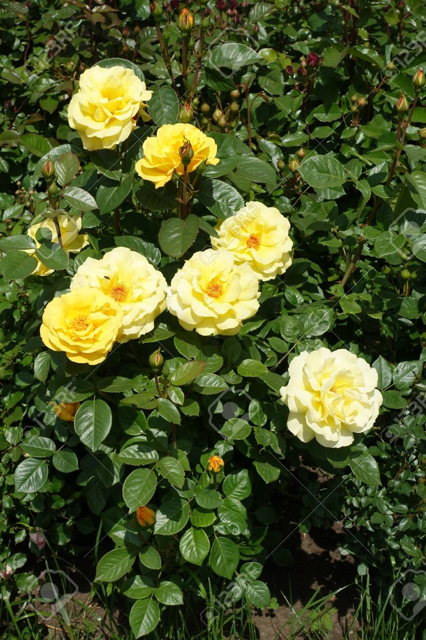 Pale yellow flowers and glossy leaves of garden rose stock photo pale yellow flowers and glossy leaves of garden rose stock photo 85014880 mightylinksfo