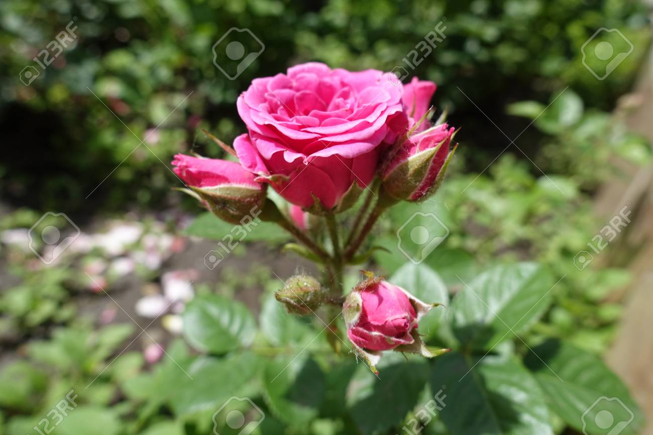 Branch Of Rose Bush With Pink Flowers And Buds Stock Photo Picture