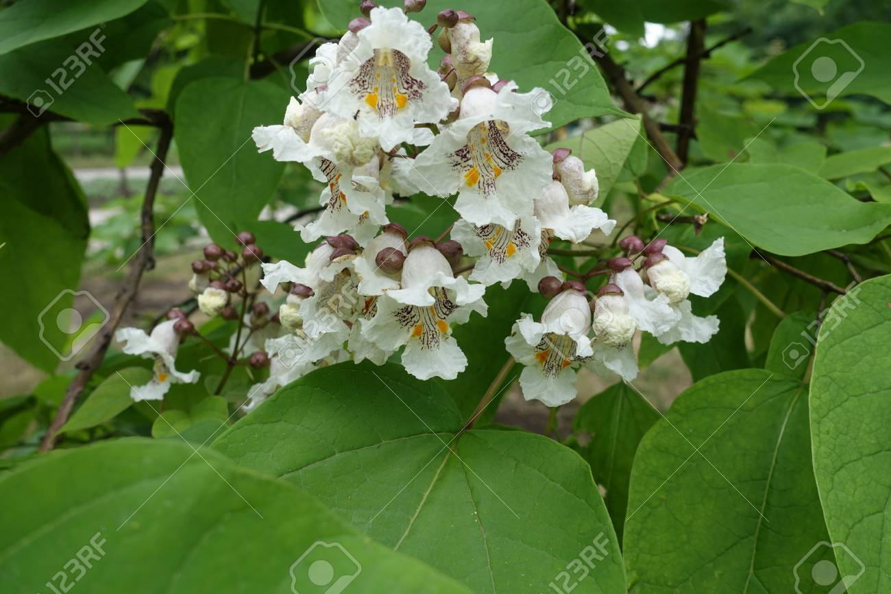 Pancula De Flores Blancas De Catalpa Entre Hojas Fotos Retratos