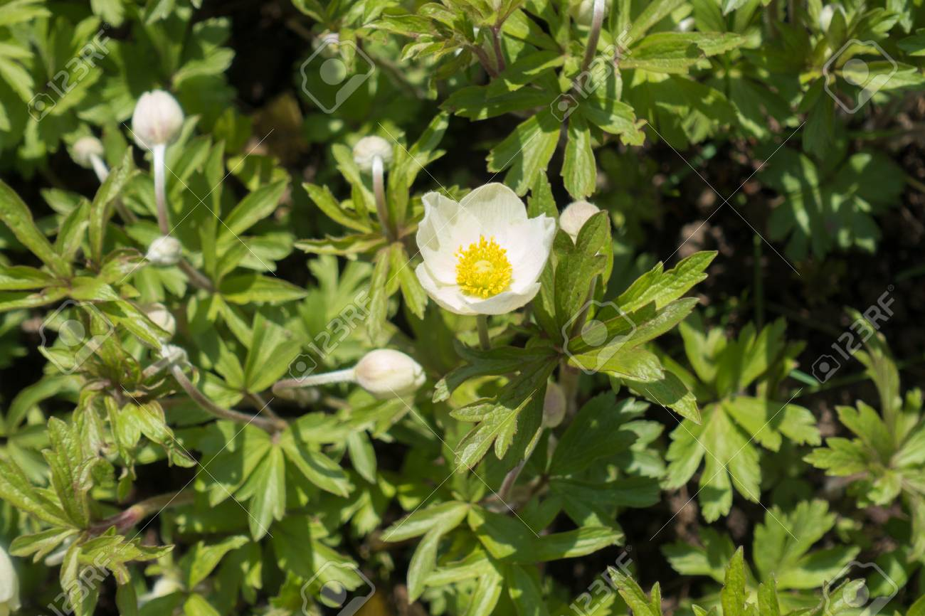 White Colored Flowers Of Snowdrop Anemone In Spring Stock Photo