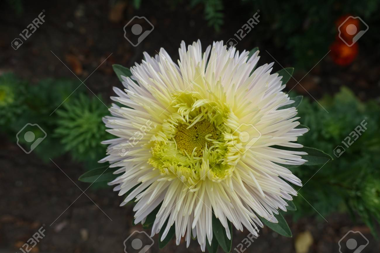 White Flower Of China Aster With Lime Center Stock Photo Picture