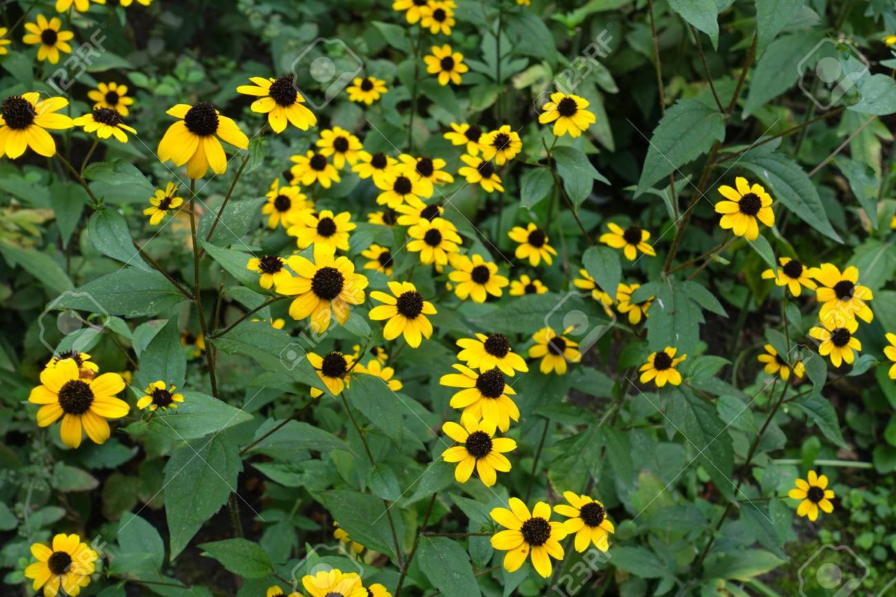 Daisy Like Yellow Flower Heads Of Rudbeckia Stock Photo Picture And