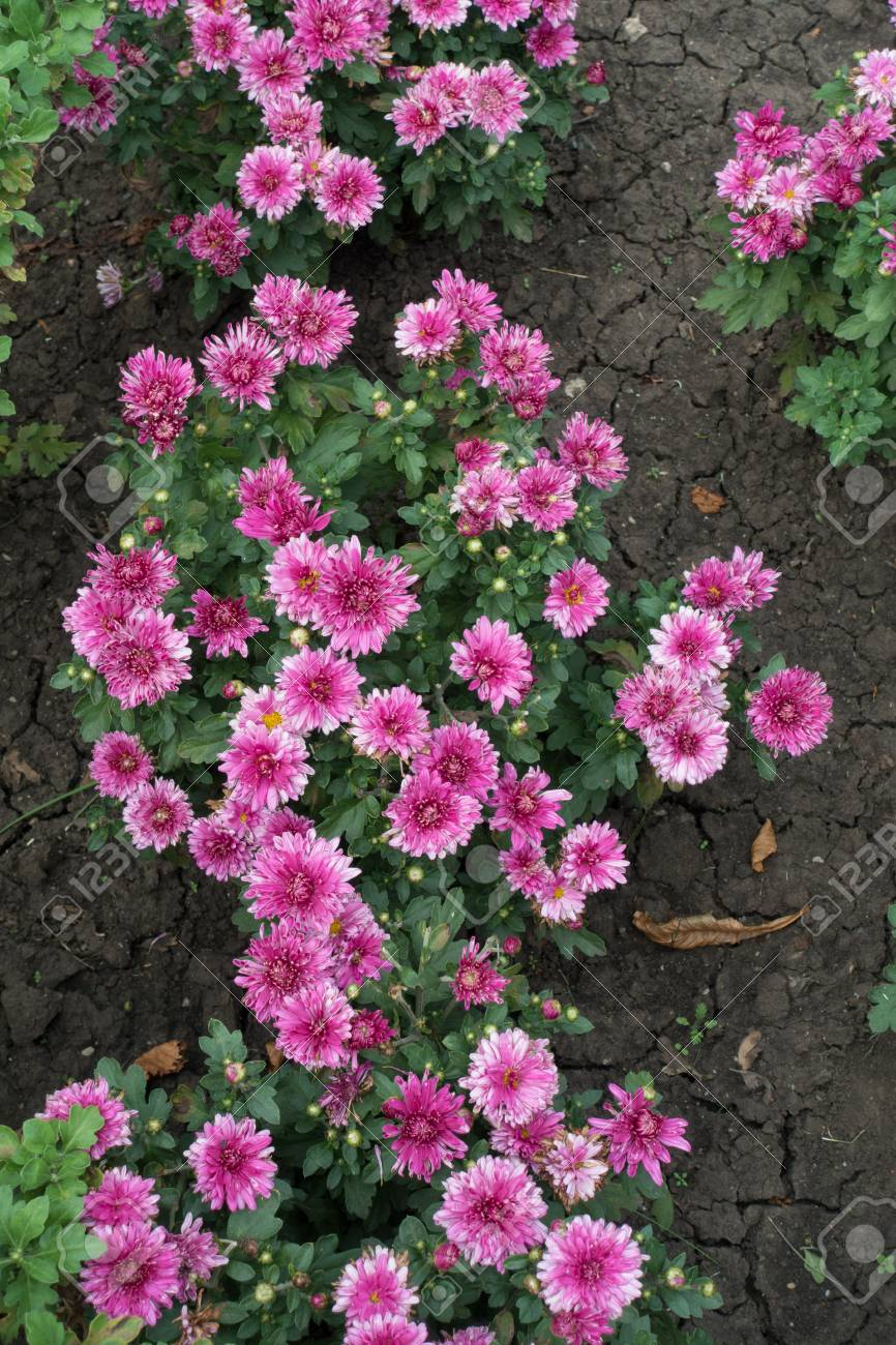 Chrysanthemum Bushes With Pink Flowers In Autumn Stock Photo