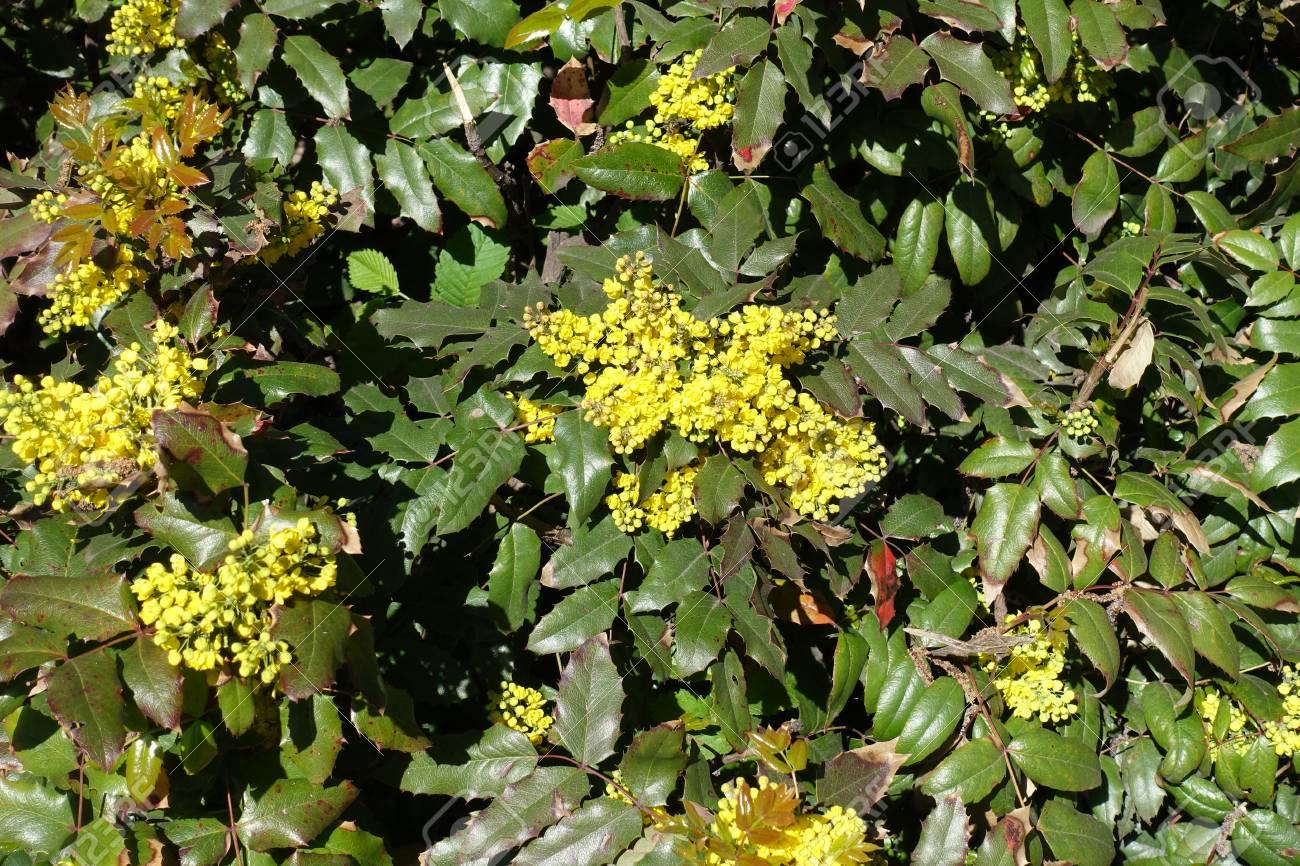 Flowering evergreen shrub of mahonia aquifolium in spring stock flowering evergreen shrub of mahonia aquifolium in spring stock photo 94184427 mightylinksfo