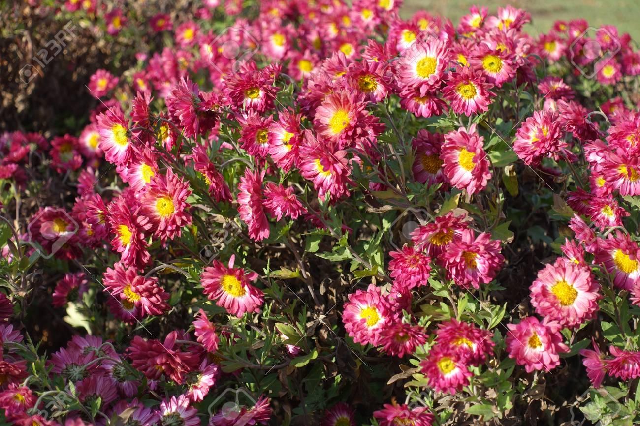Ruby And White Daisy Like Flowers Of Chrysanthemum Stock Photo