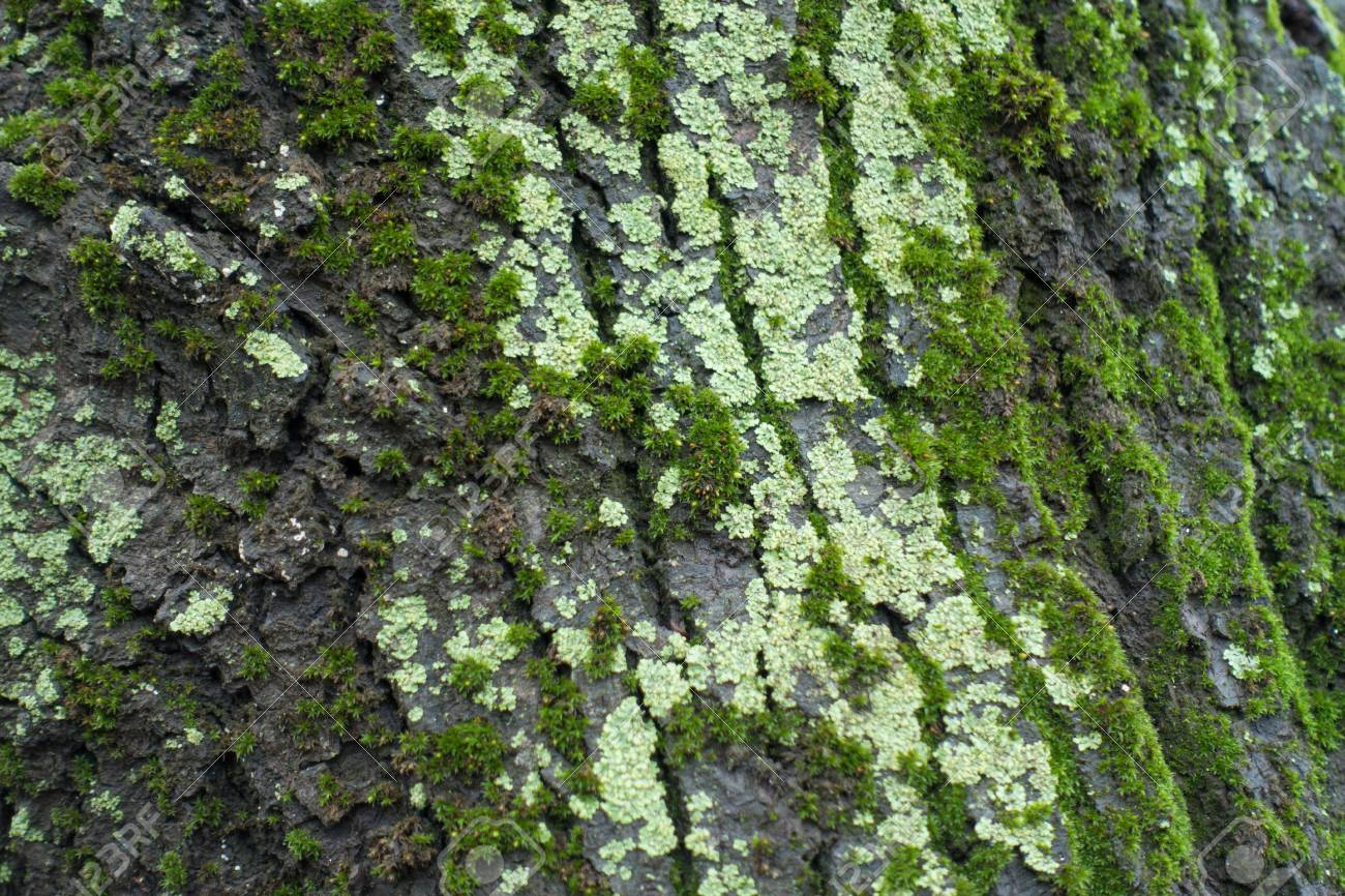Light Green Lichen And Moss On Tree Bark Stock Photo, Picture And ...