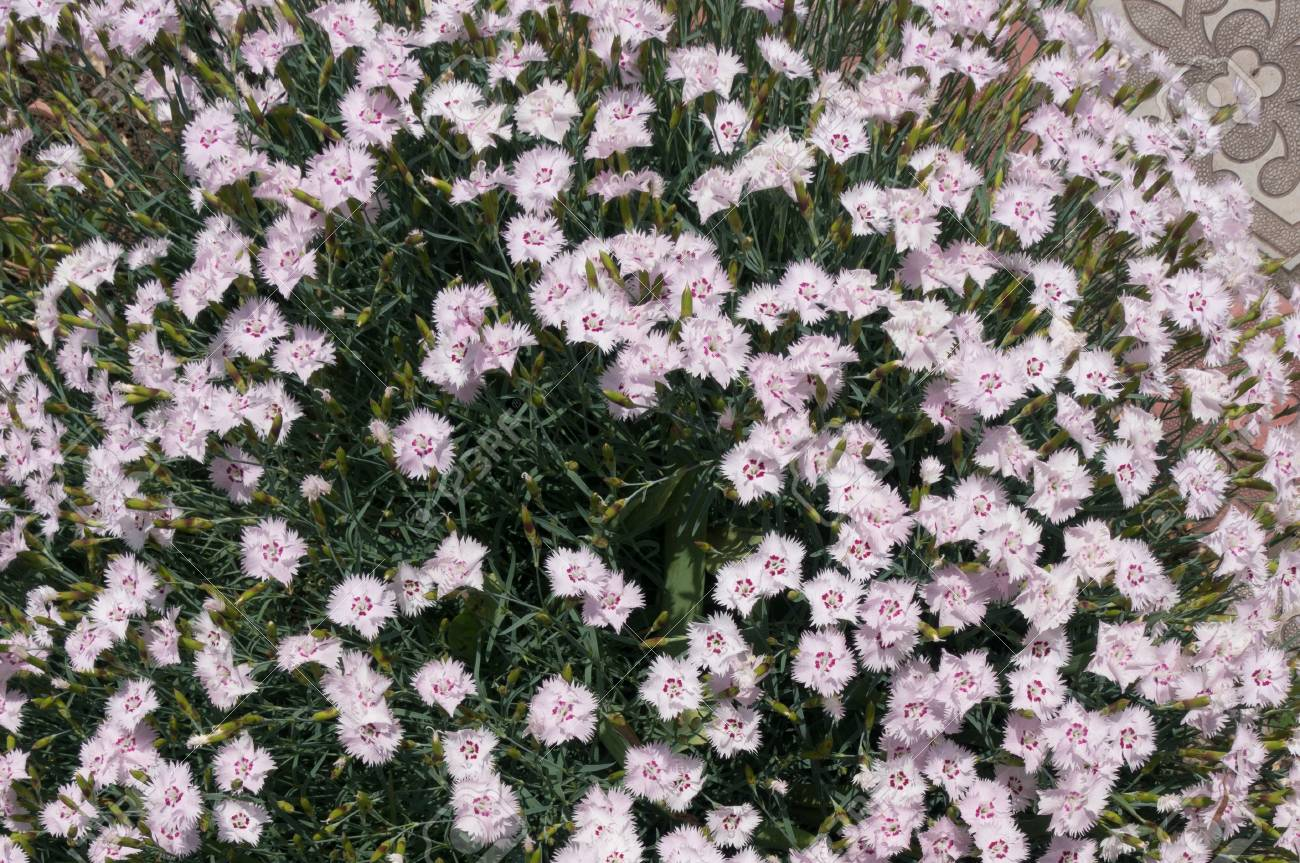 Cushion Of Pastel Pink Flowers Of Dianthus Stock Photo Picture And