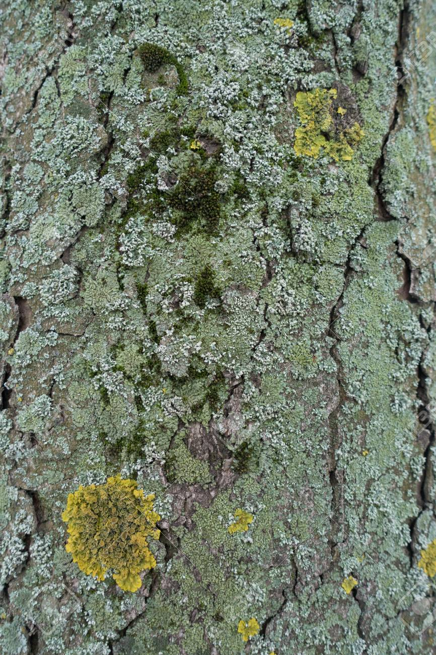 Tree bark densely covered with moss yellow and blue green lichen stock photo tree bark densely covered with moss yellow and blue green lichen mightylinksfo