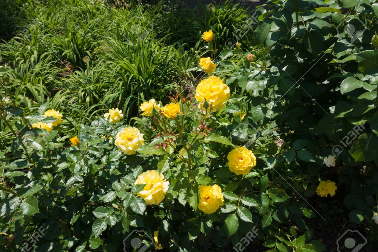 Rose Bush With Big Yellow Flowers In May Stock Photo Picture And