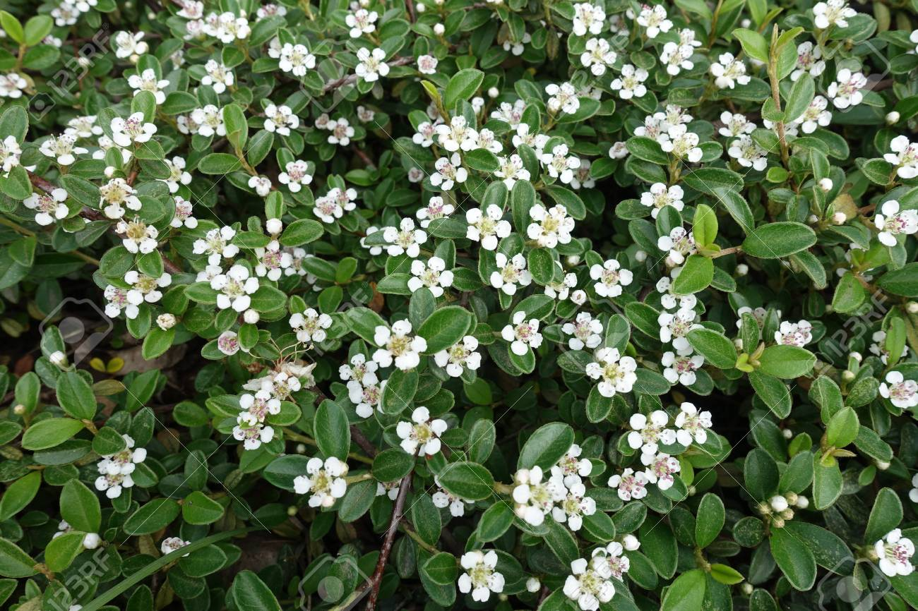 Small White Flowers Of Cotoneaster Horizontalis Shrub Stock Photo