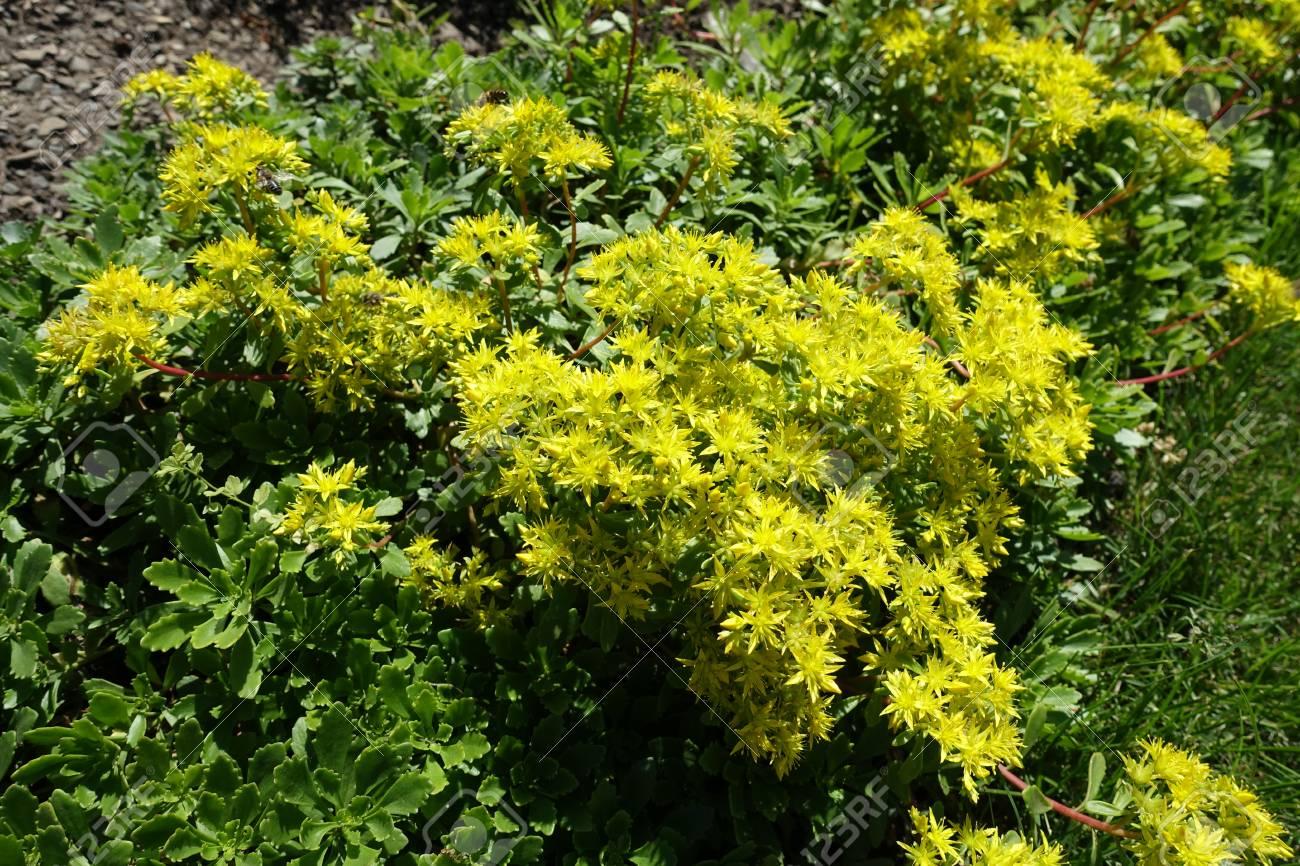 Yellow flowers of sedum kamtschaticum in the garden stock photo stock photo yellow flowers of sedum kamtschaticum in the garden mightylinksfo