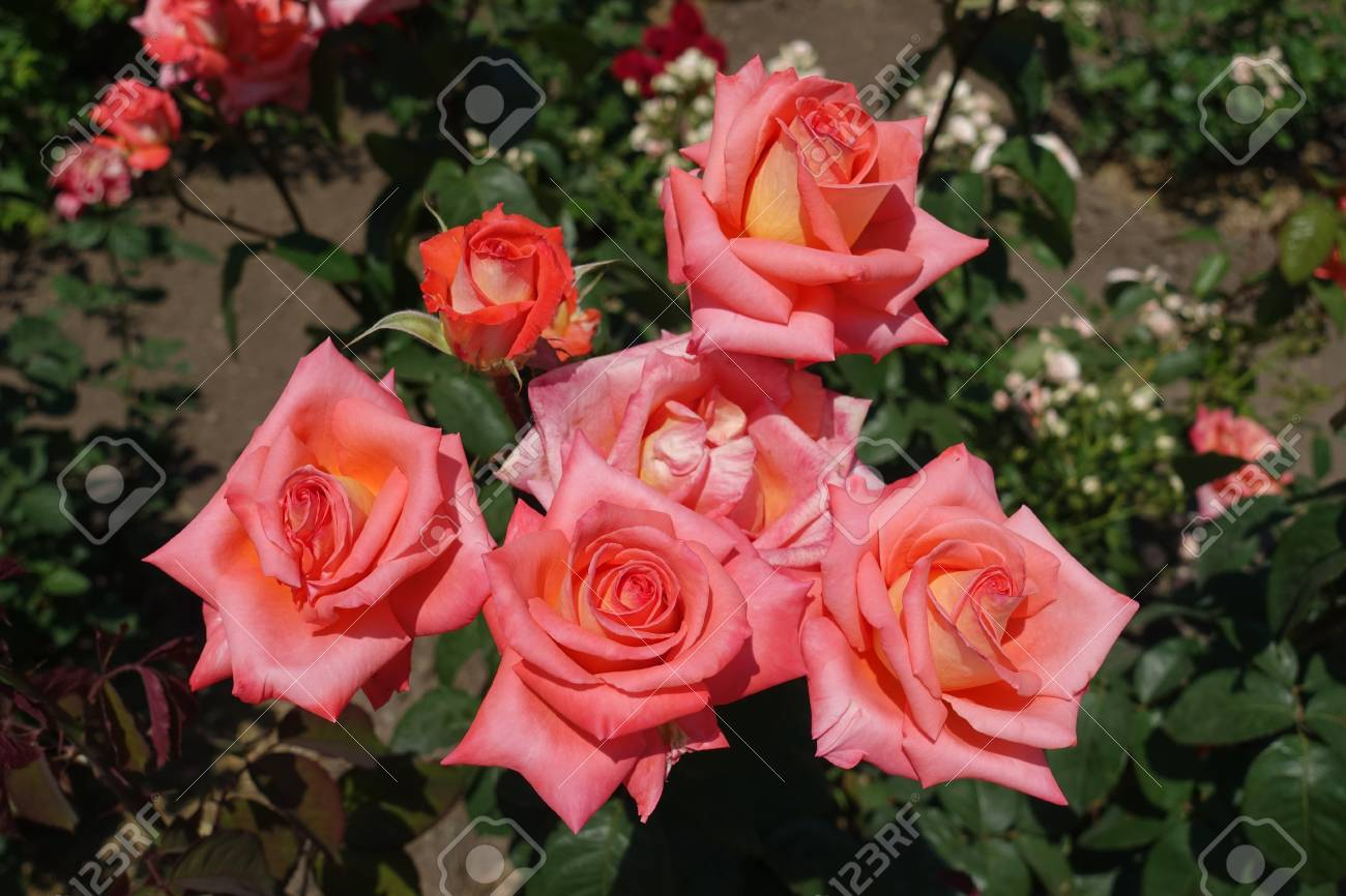 Bunch Of Salmon Pink Flowers Of Garden Rose Stock Photo Picture And