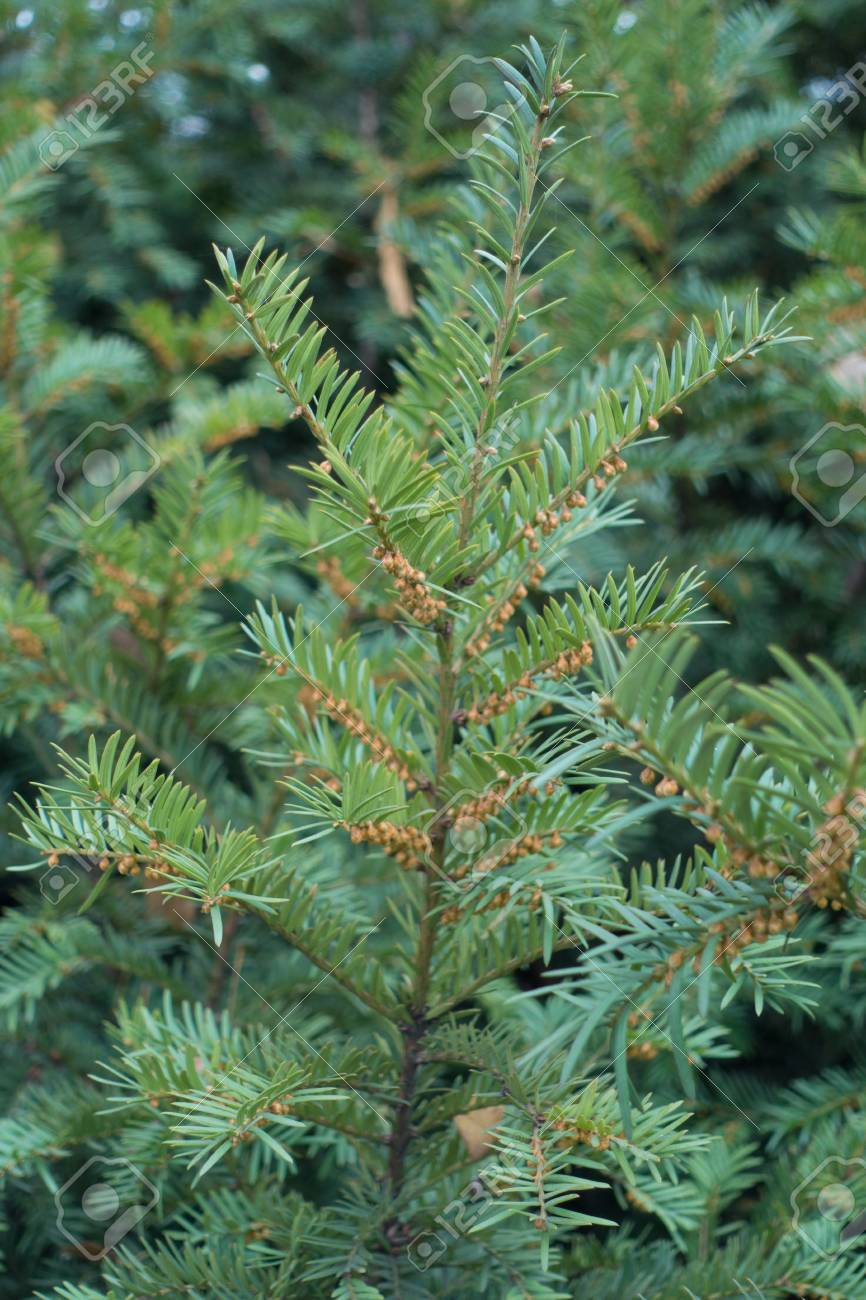Male Cones On Branches Of Yew Bush In Autumn Stock Photo Picture