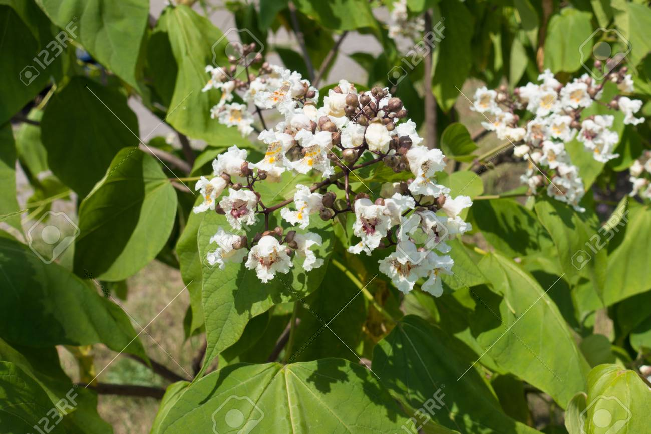 Branch Of Catalpa Tree With Large White Flowers Stock Photo