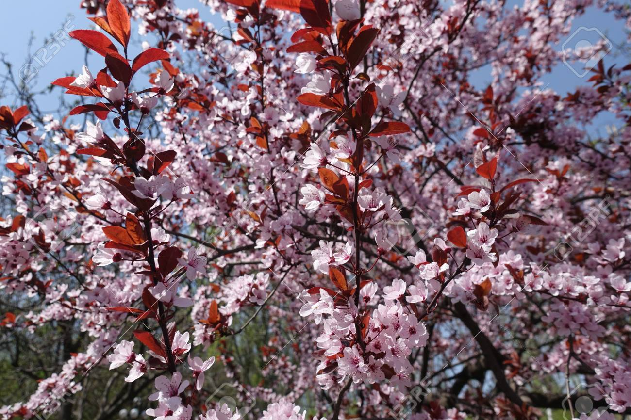 Purple Leaf Plum In Full Bloom In Spring Stock Photo Picture And