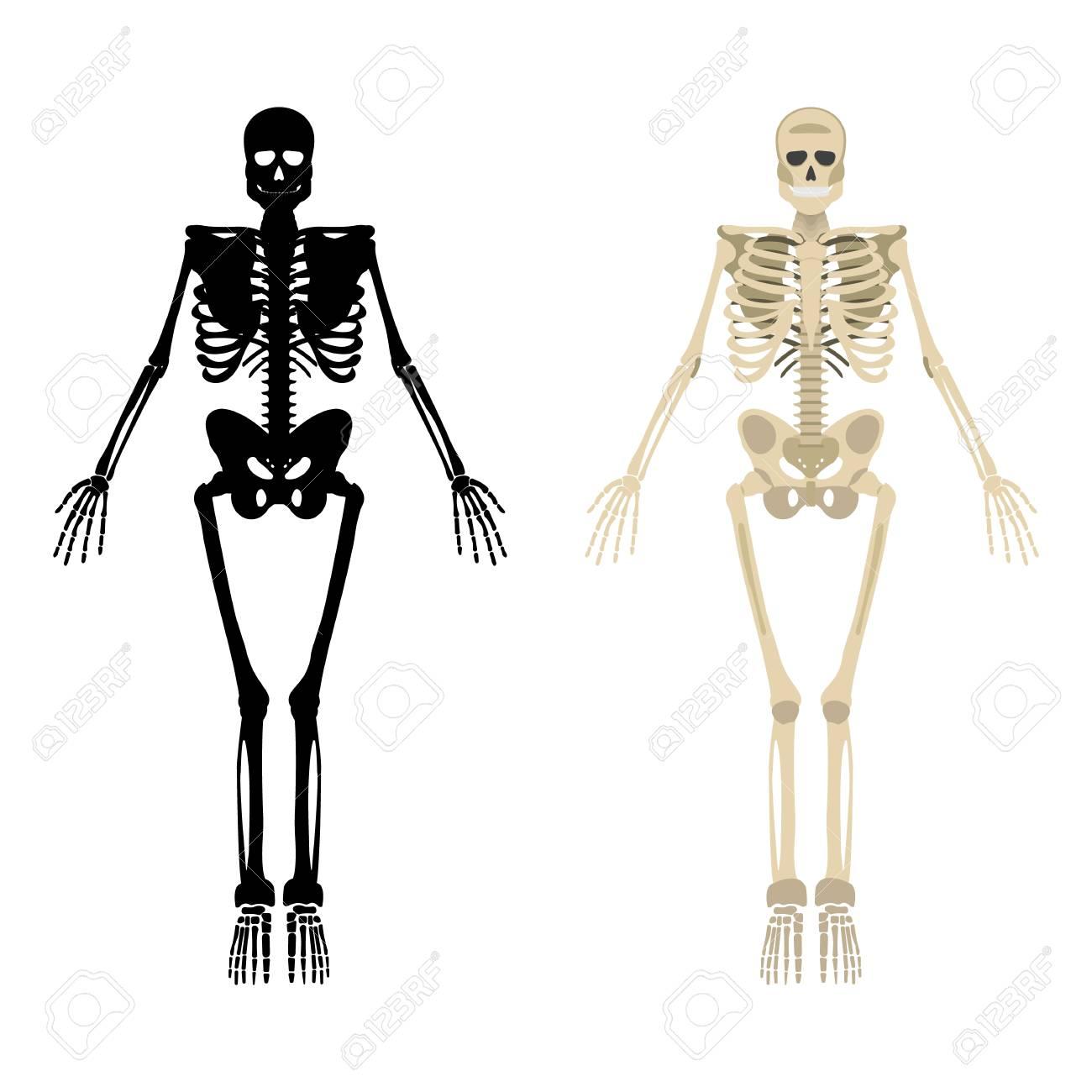 Atemberaubend Menschliches Skelett Mit Markiertem Knochen ...