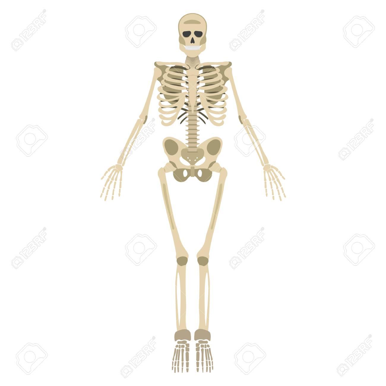 Icono De Esqueleto. Esqueleto Humano Frontal Silueta. Aislado En El ...