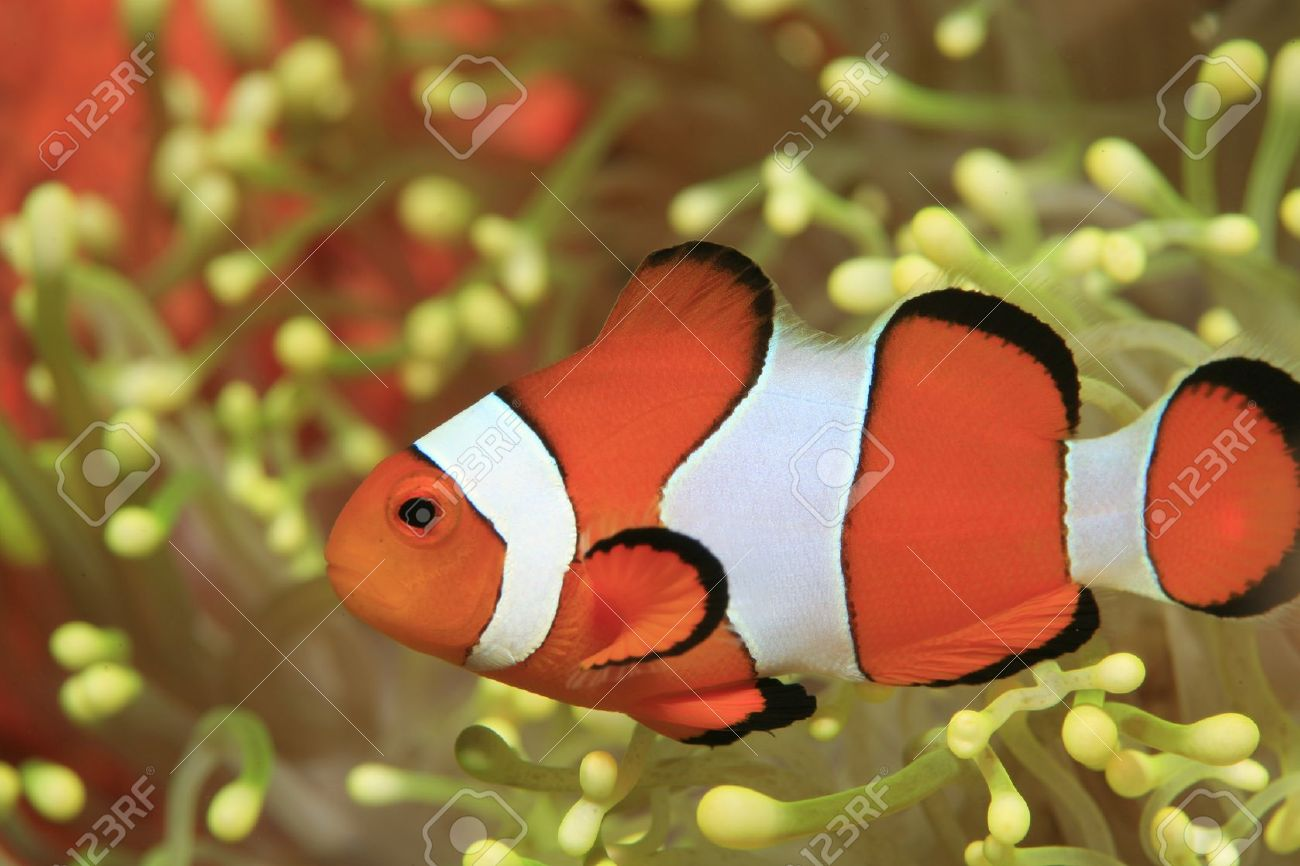 Clownfish And Yellow Sea Anemone Stock Photo, Picture And Royalty ...