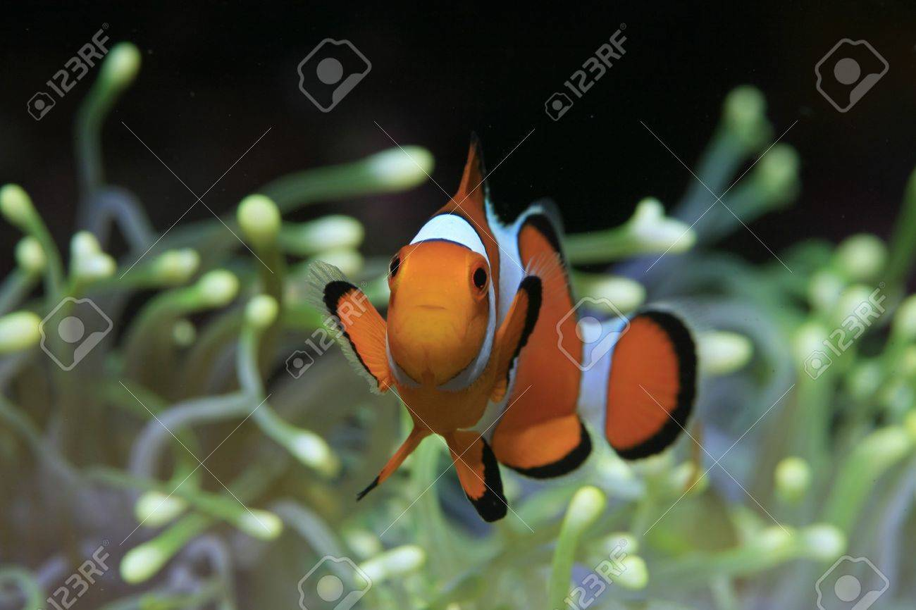 Clownfish and yellow sea anemone Stock Photo - 12837258