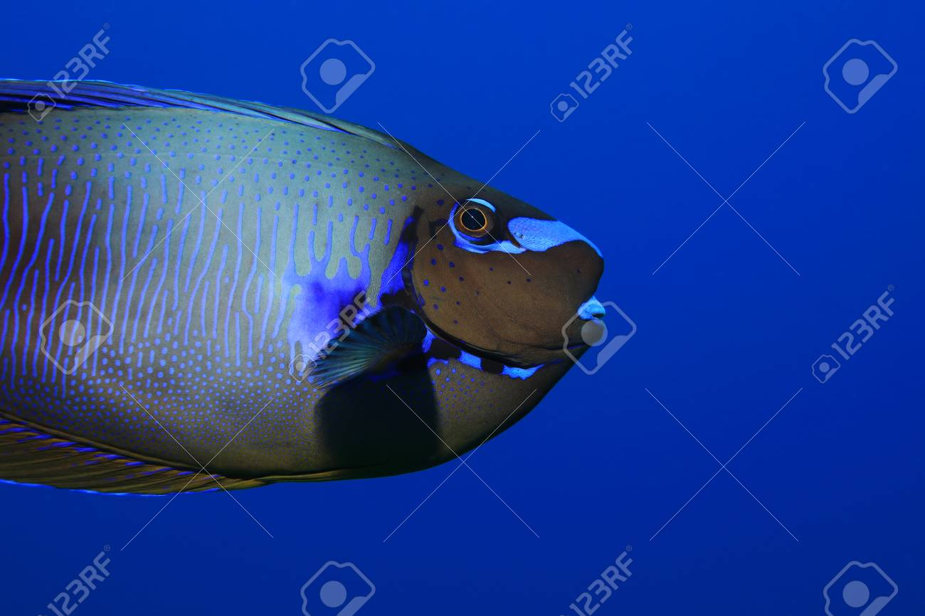 Bignose Unicornfish Naso Vlamingii Underwater In The Tropical