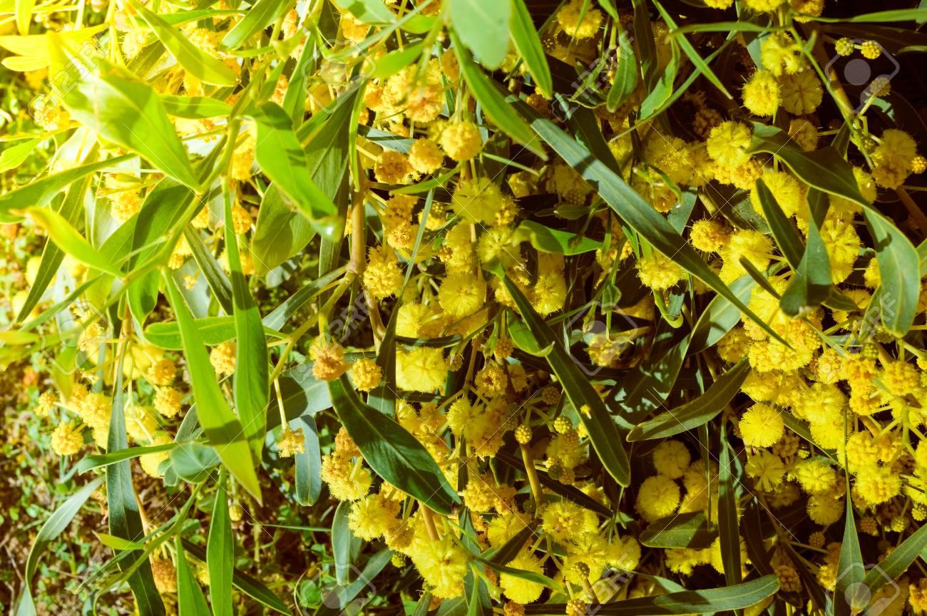 Closeup on acacia yellow flower natural outdoors garden park stock closeup on acacia yellow flower natural outdoors garden park background stock photo 74918593 mightylinksfo