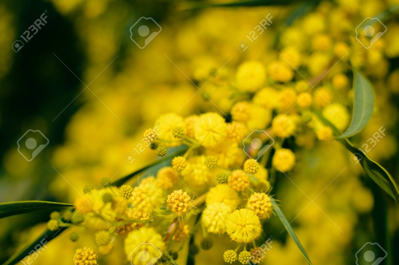 Close Up On Natural Branches Of Mimosa Flower Fresh Yellow