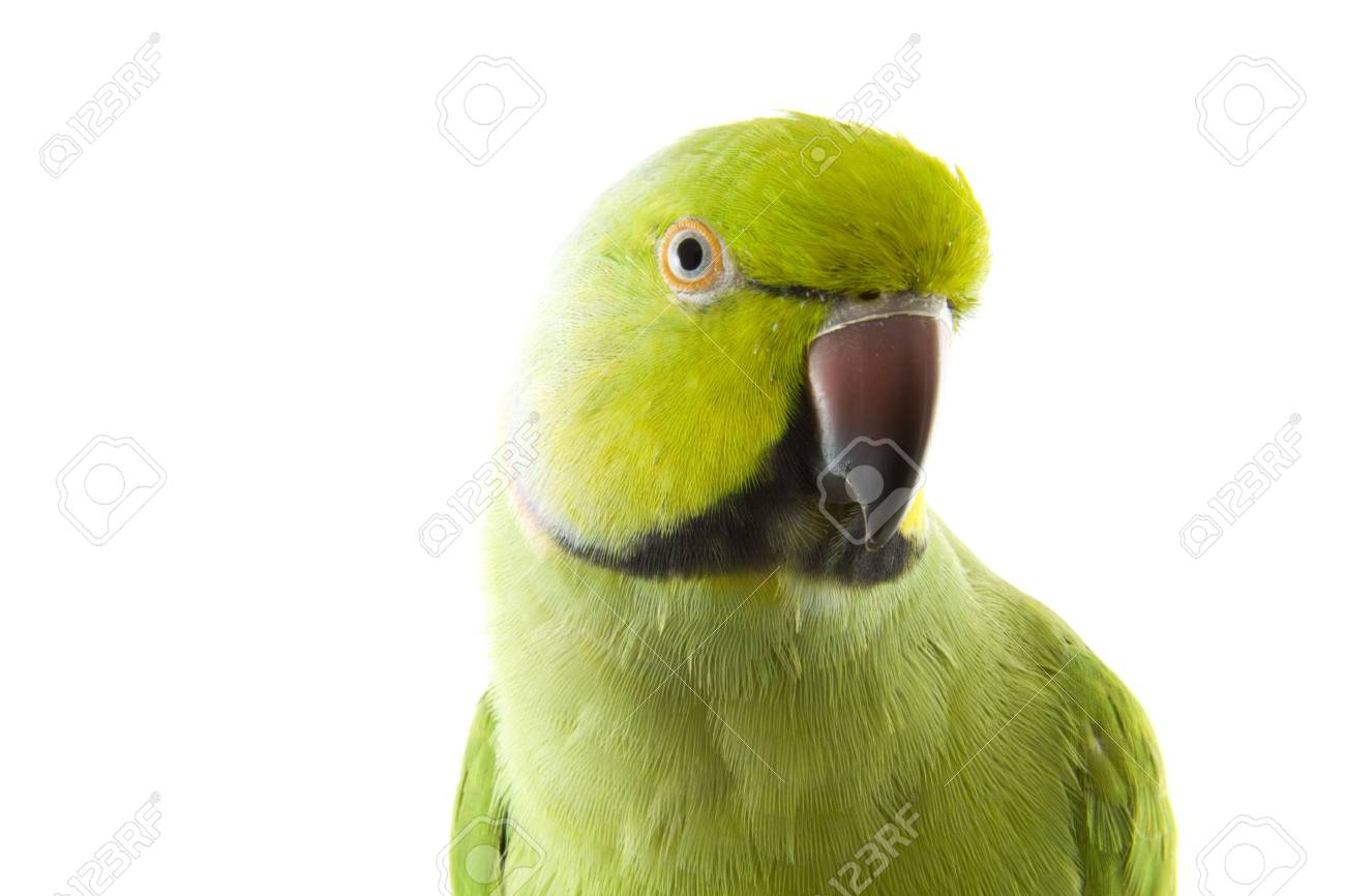 Green parrot close up isolated over white Stock Photo - 6830029