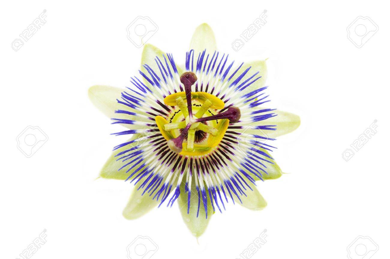 Passion flower close up isolated over white stock photo picture passion flower close up isolated over white stock photo 7789411 dhlflorist Images
