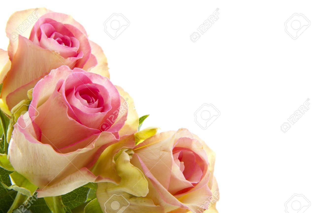 Three Beautiful Pink Roses Isolated Over White Stock Photo, Picture ...